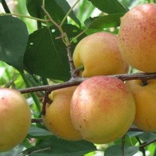 Описание абрикоса сорта «чемпион севера»: характеристики, фото, отзывы садоводов