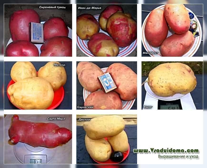 Картофель сынок: характеристика и особенности выращивания сорта