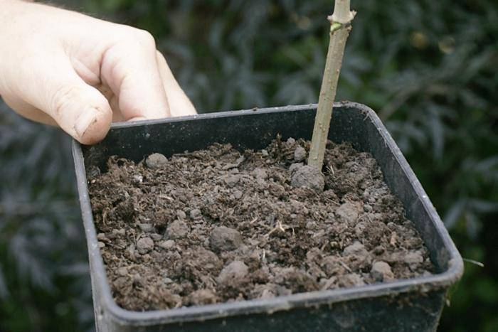 Способы размножения войлочной вишни в саду