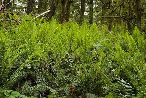 Как пересадить папоротник из леса в сад: условия для посадки, как ухаживать