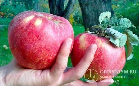 Плюсы и минусы яблони сорта семеренко, посадка и уход