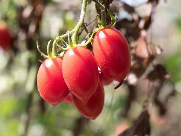 Популярный томат рома: характеристика и описание сорта