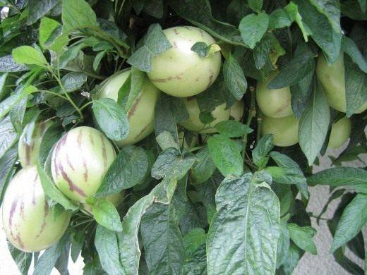 Пепино или дынное дерево: выращивание из семян в домашних условиях