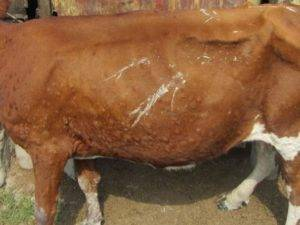 Лечение и профилактика пареза у коров