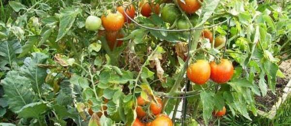 Что такое индетерминантные и детерминантные сорта томатов?