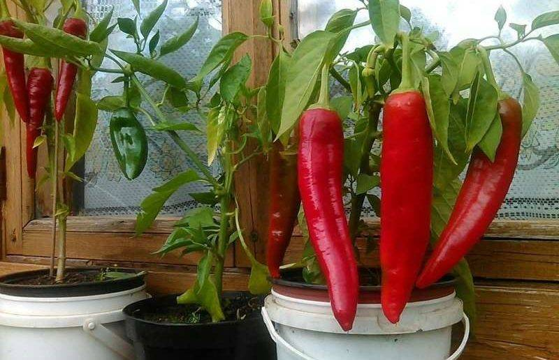 Перец чили на подоконнике: правила посадки и выращивания