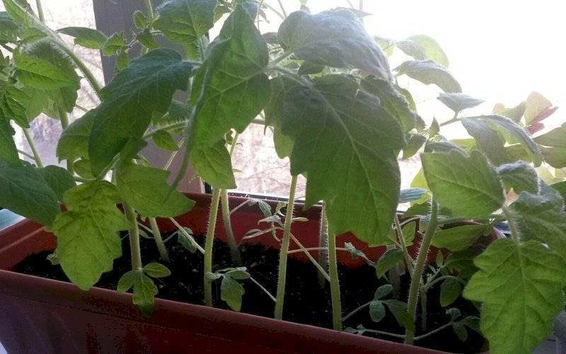 Секреты подкормки помидоров для богатого урожая
