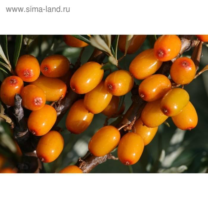 Облепиха алей — описание сорта, фото и отзывы садоводов
