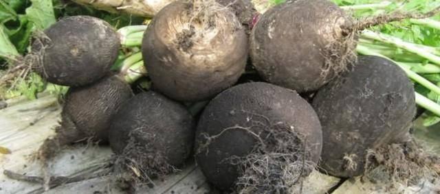Китайская редька лобо: описание, лучшие сорта, посадка и выращивание