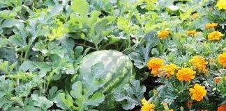 Огурдыня что это такое, где купить семена, выращивание и уход, отзывы, фото