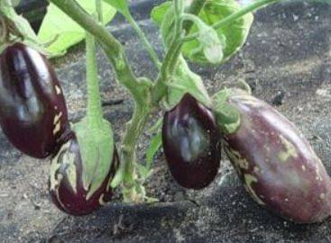 Характеристика и особенности выращивания баклажана северянин