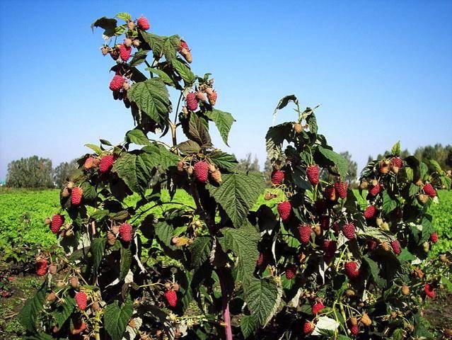 Выбор самого сладкого и вкусного сорта малины. мнение редакции