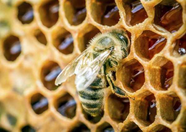 Пчелиный воск: полезные свойства и вред