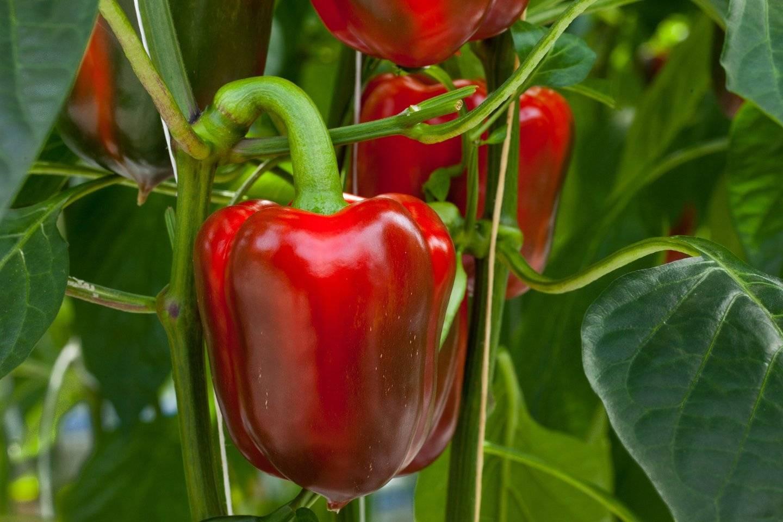 Как правильно посеять сладкий перец на рассаду