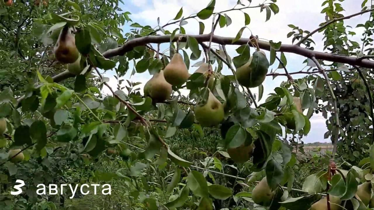 Особенности выращивания и ухода за грушей сорта виктория