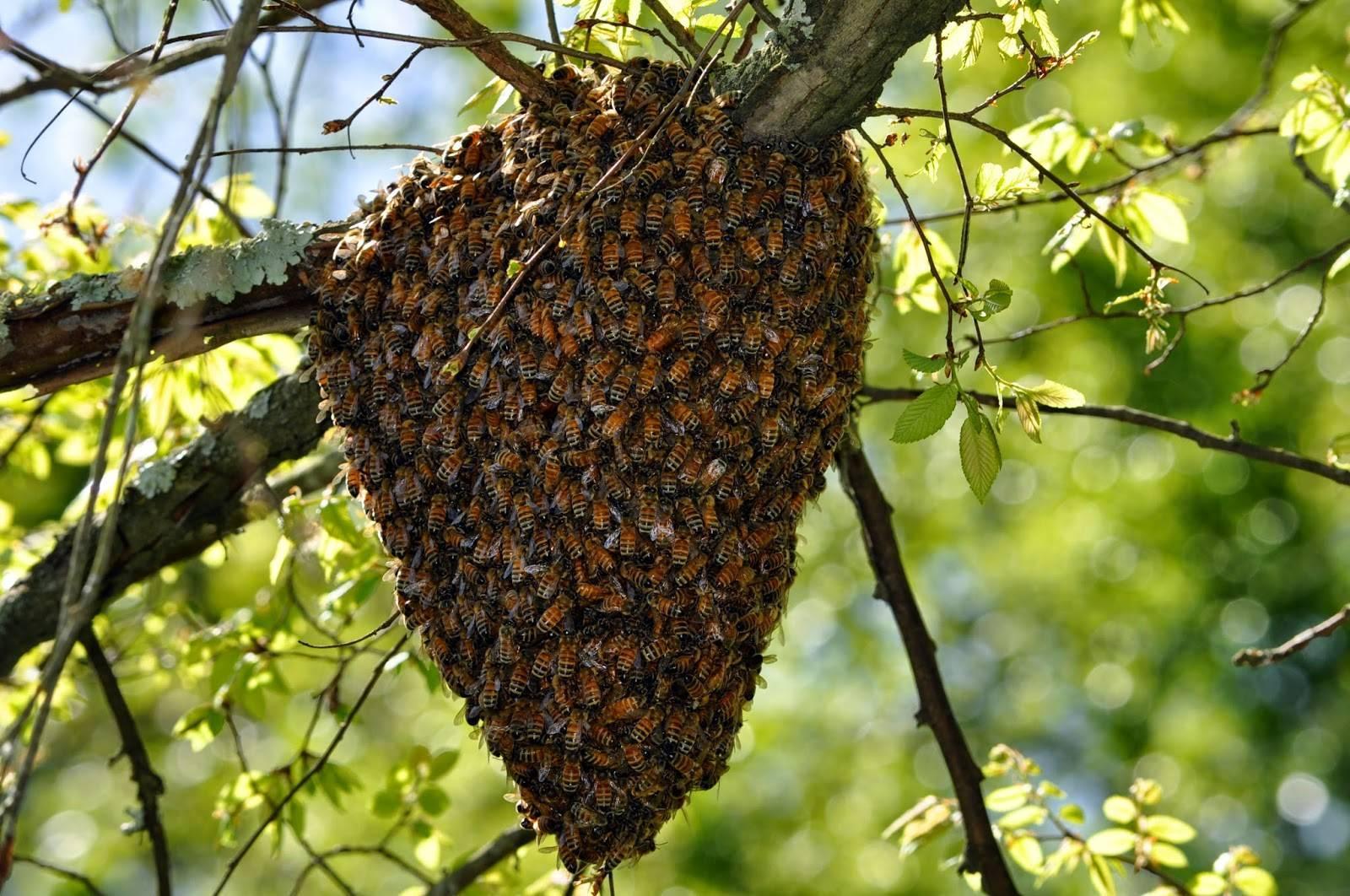 Что такое пчелиная мерва и как её правильно применять
