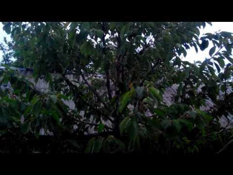 Что делать, если на деревьях и кустах опадают завязи?