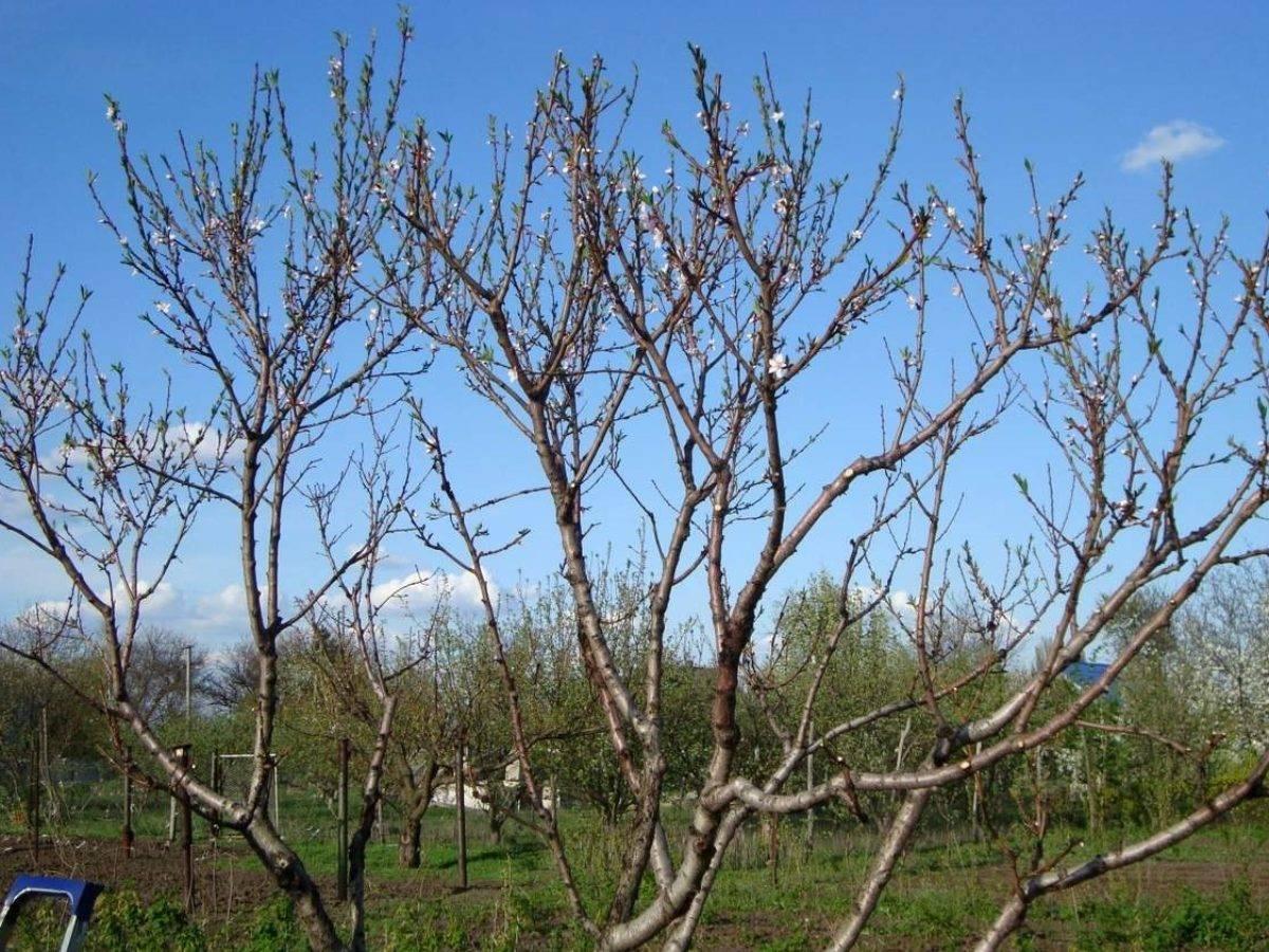 Обрезка яблонь весной для начинающих: пошагово с картинками и видео
