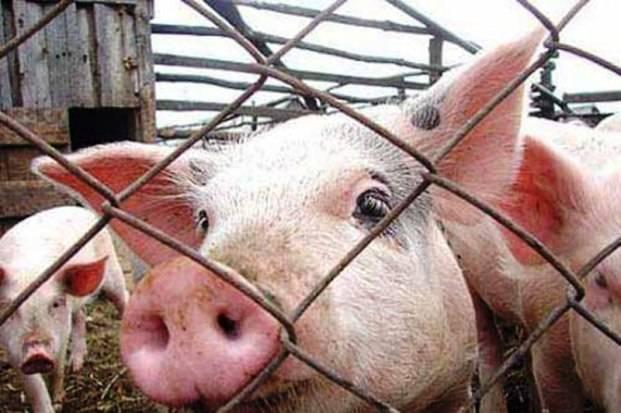 У свиньи температура: чем лечить? симптомы, как измерить - ты-фермер