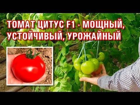 Помидоры из голландии — томат яки f1: описание сорта и характеристики, отзывы об урожайности