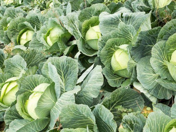 Капуста сорта доминанта: описание, агротехника выращивания и уход