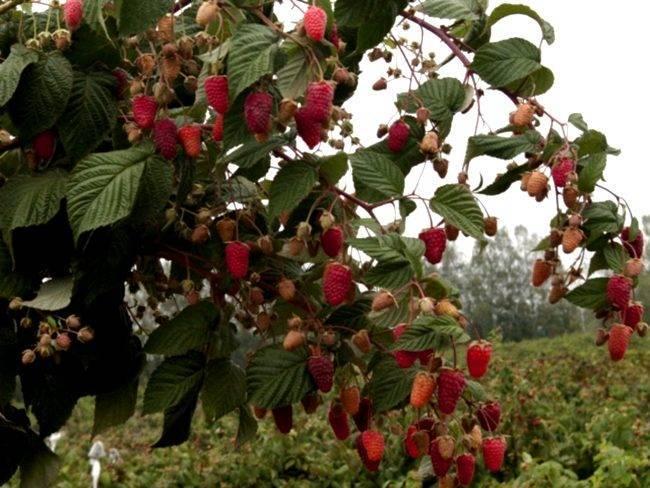 Ремонтантная малина — обрезка и правильный уход для получения отличного урожая