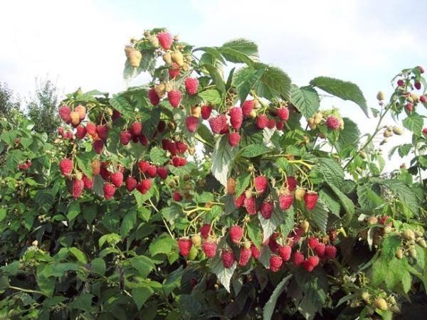 Описание сорта штамбовой малины сказка: как улучшить урожайность