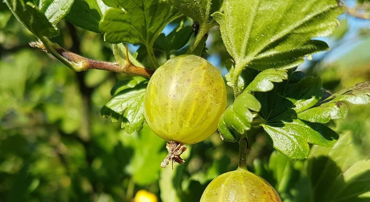 Размножение крыжовника черенкованием: сроки и методы