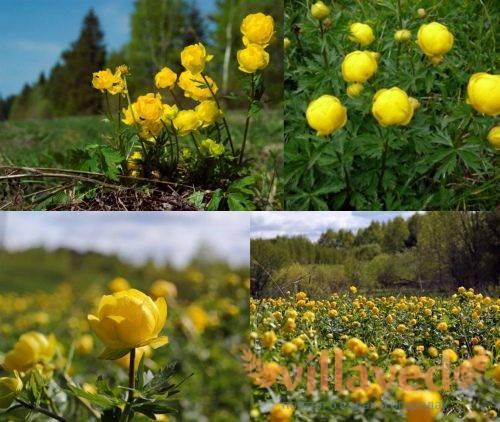 Купальница: выращивание и уход в саду