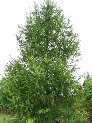 Какое хвойное дерево сбрасывает осенью хвою? какое дерево сбрасывает хвою на зиму кроме лиственницы, листопадные хвойные дерево которое на зиму сбрасывает иголки
