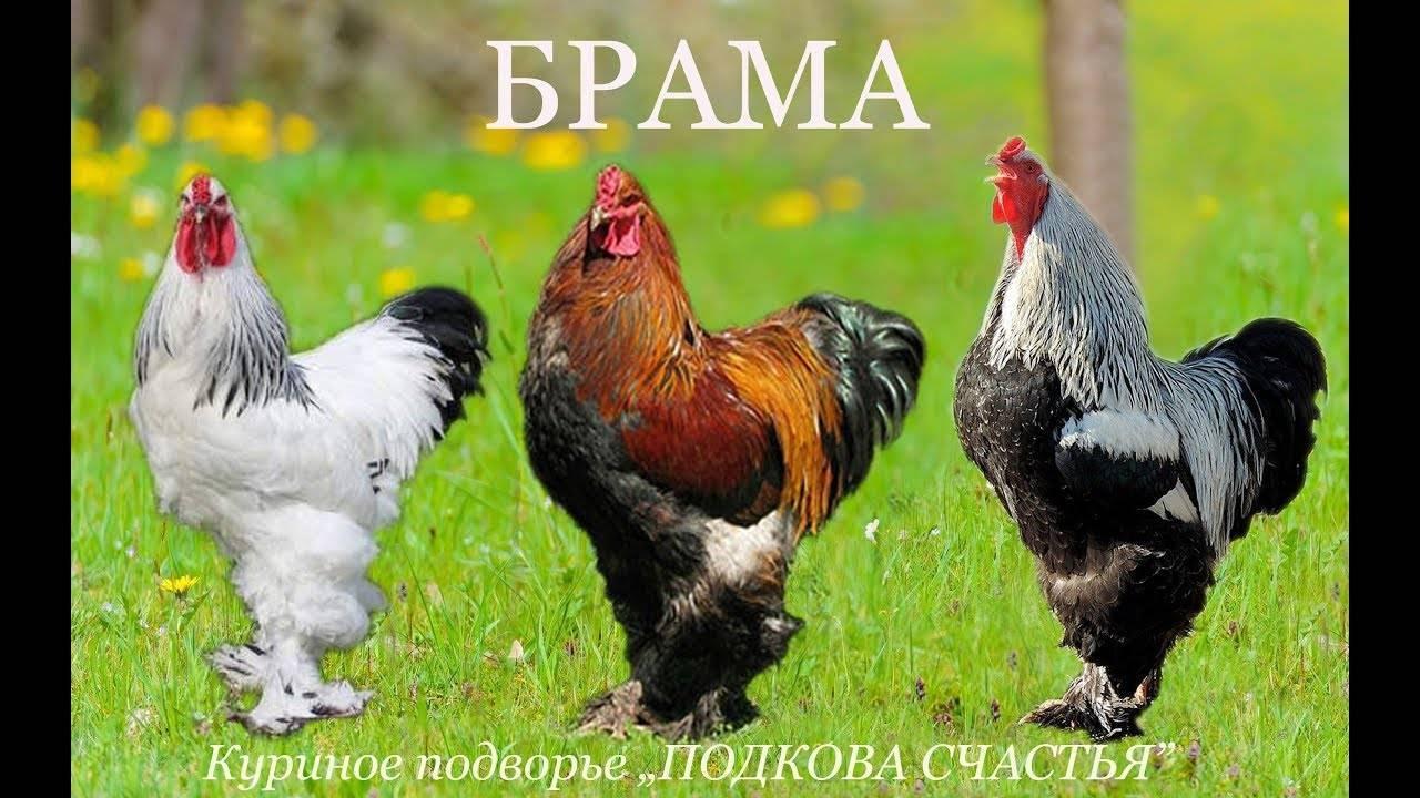 Брама палевая: фото и описание породы кур, ее характеристики и особенности выращивания