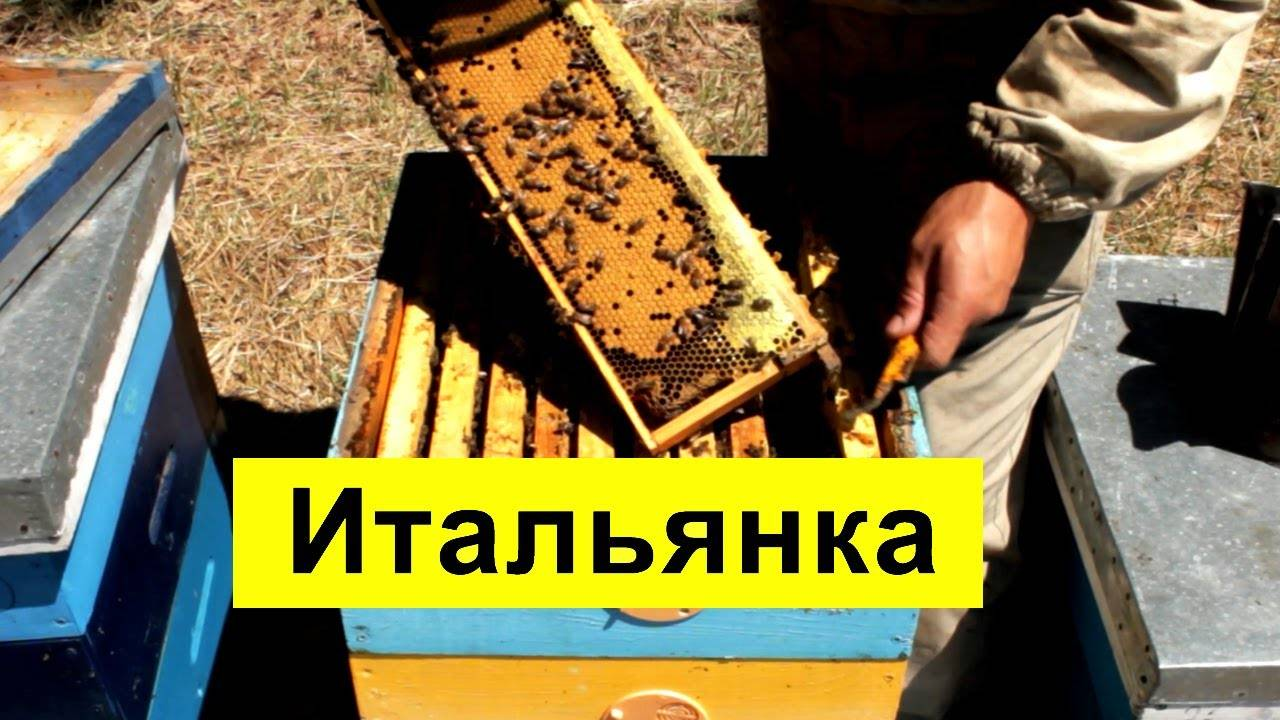 Гималайские пчелы