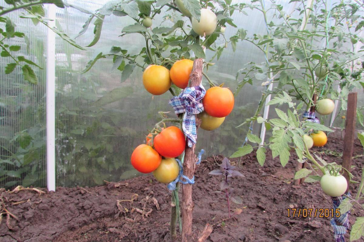 Томат воловье сердце: отзывы, фото, урожайность