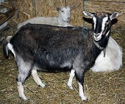 Русская белая коза: описание, характеристики и особенности породы, внешний вид и фото, условия содержания и размножение