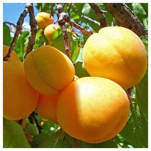 Абрикос ананасный — масса достоинств при минимуме недостатков