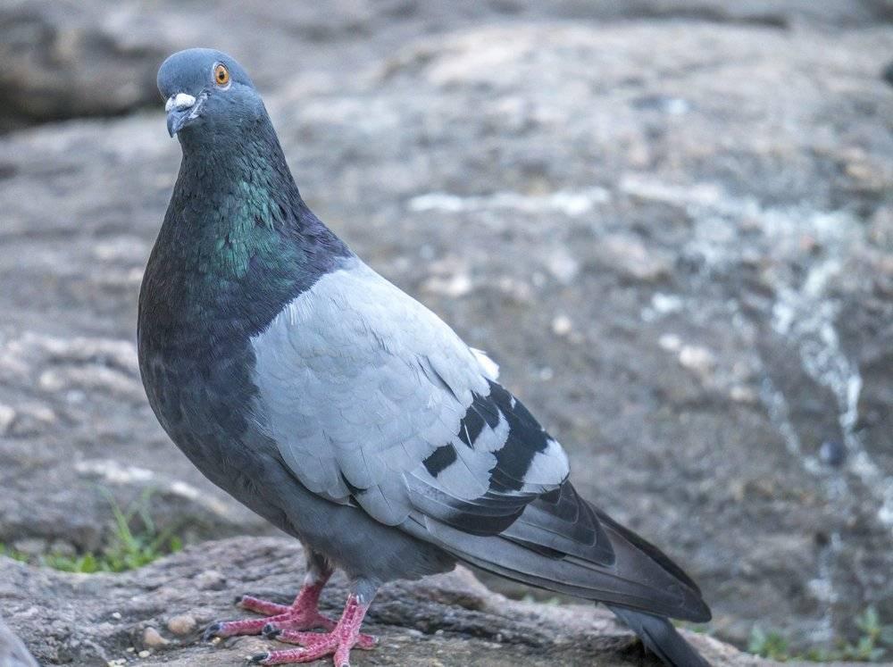 ᐈ птица горлица: [описание и фото] пение, как выглядит, виды, где обитает