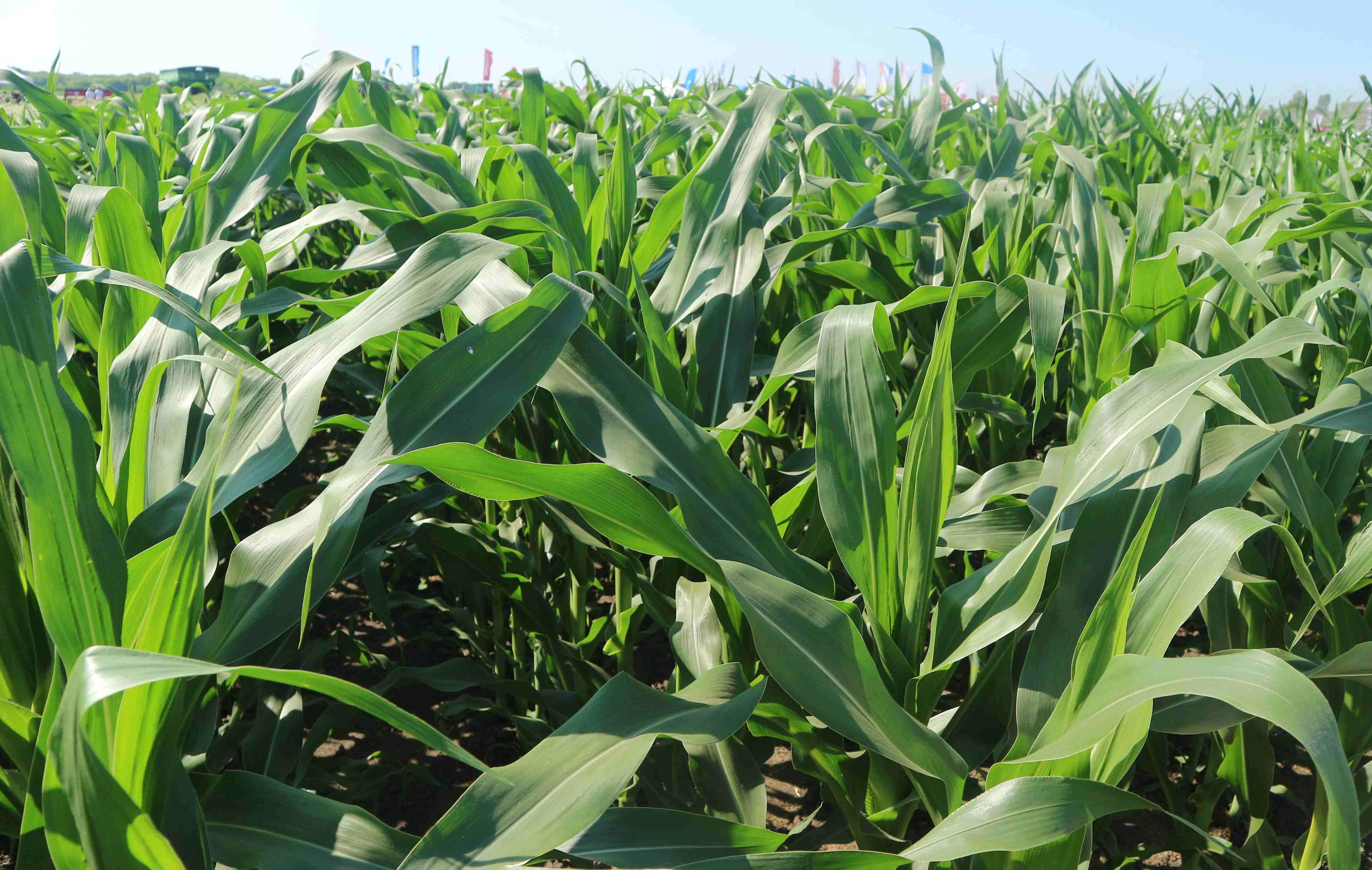 Болезни и вредители кукурузы и методы борьбы с ними