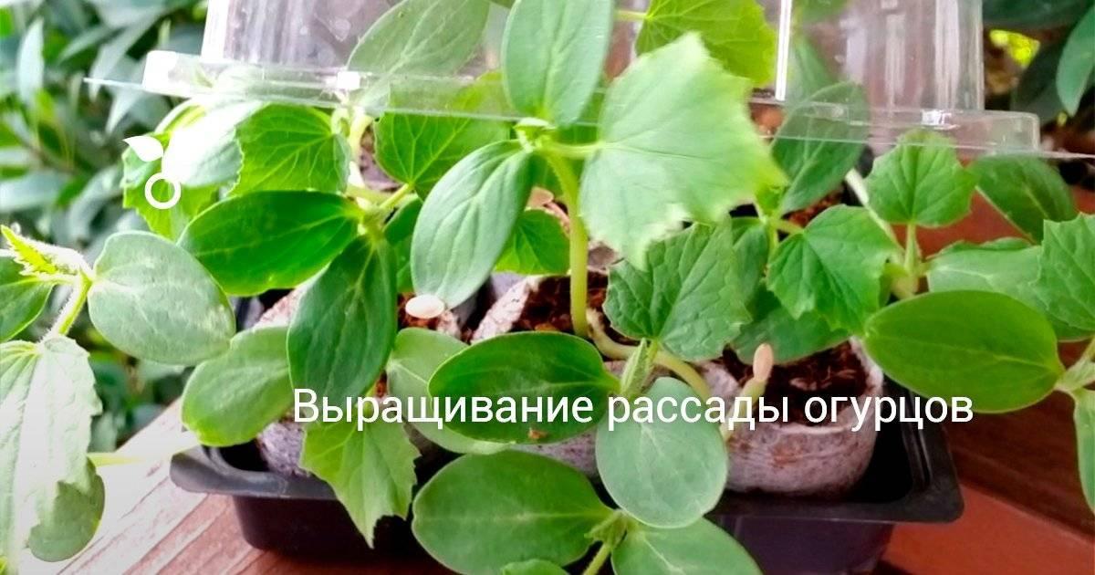 Как вырастить хорошую рассаду огурцов: нюансы ухода и пикировки