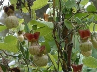 Трава кирказон лечебные свойства и противопоказания. кирказон маньчжурский – растение лекарственное кирказон ломоносовидный в народной медицине