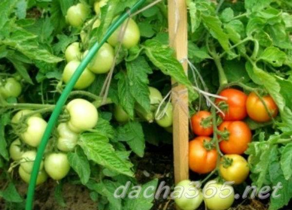 Сорт неизвестного происхождения с высокой популярностью — томат кибиц: подробное описание