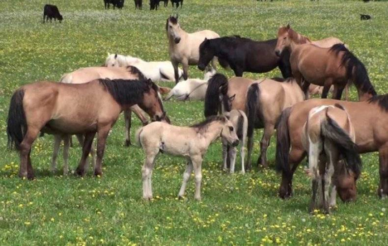 Вольные лошади башкирской земли