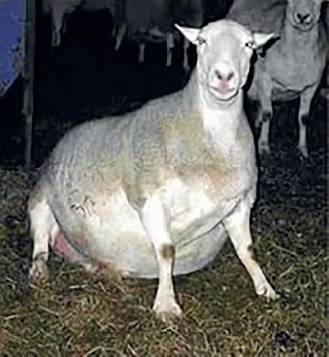 Травматический ретикулоперикардит крупного рогатого скота 2020