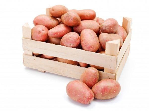Картофель сорта астерикс