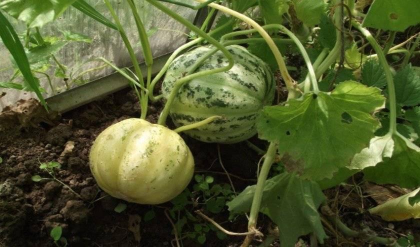 5 экзотических овощей, которые я советую выращивать всем