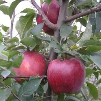 Высокоурожайная яблоня айдаред: описание, фото
