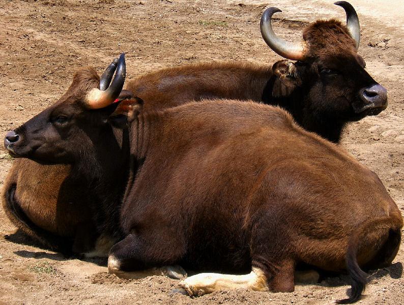 Дикий бык (дикие коровы) в природе