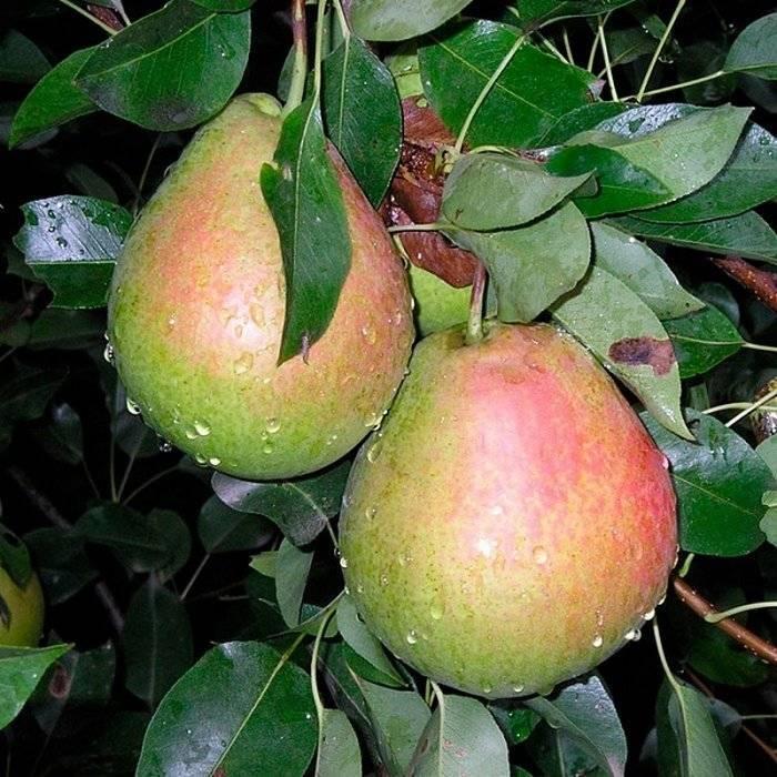 Высокоурожайная груша лель: описание сорта и фото плодов, выращивание и уход
