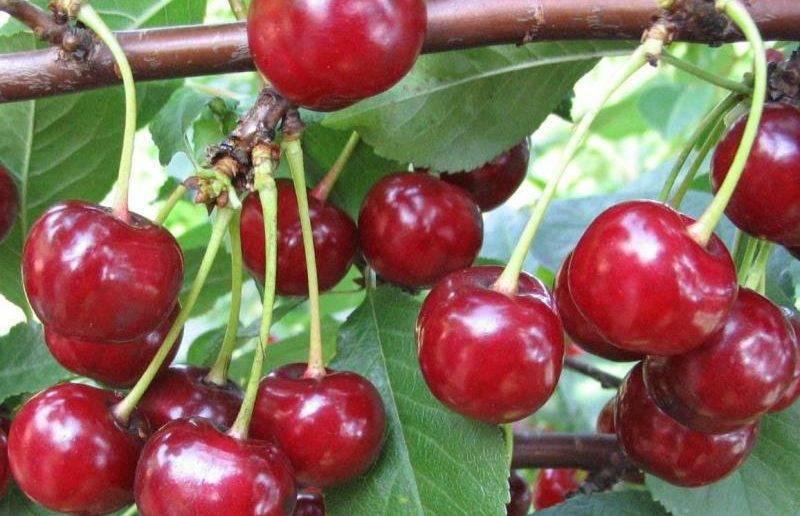 Украинская вишня чернокорка — все про сорт, уход и ягоды