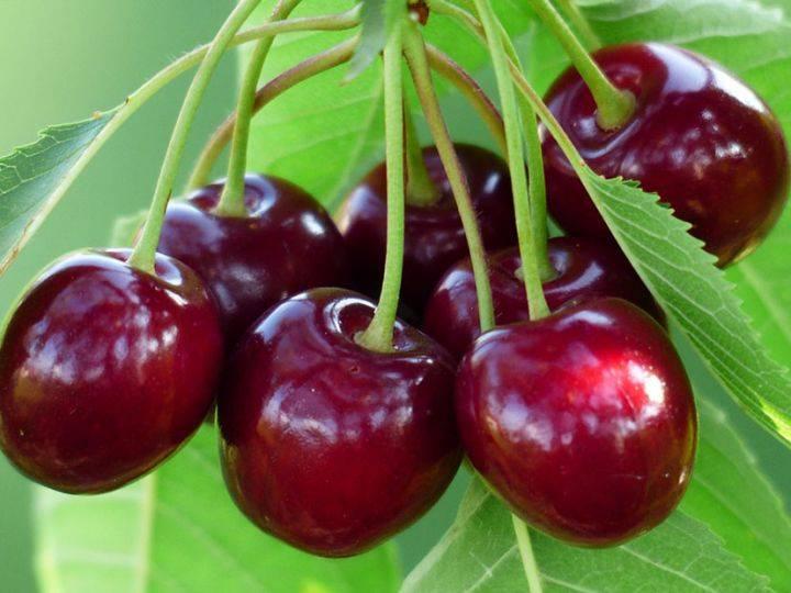 Черешня овстуженка: описание популярного сорта, особенности выращивания ягоды