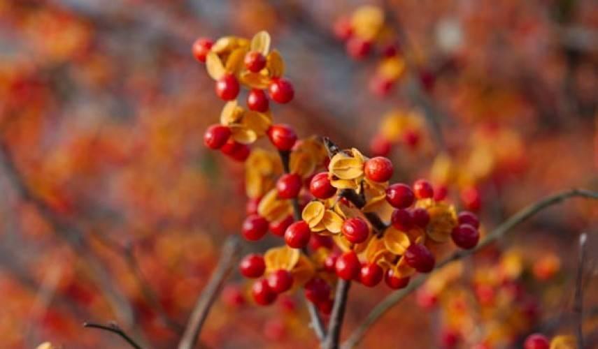 Древогубец или краснопузырник: разновидности, посадка, выращивание и уход, размножение